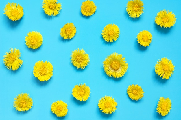 Fleurs jaunes de tussilage sur fond bleu. (tussilago farfara). usine médicale. Photo Premium