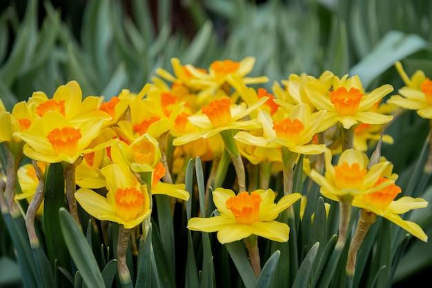 Fleurs De Jonquille Qui Fleurissent Au Printemps Photo Premium