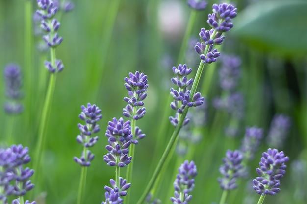 Fleurs De Lavande Dans Le Champ, Jardin. Papier Peint Nature Photo Premium