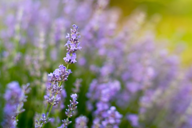 Fleurs De Lavande Dans Le Champ Soft Focus Photo Premium