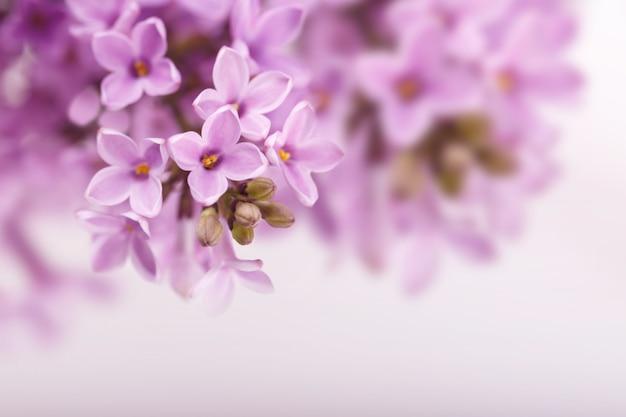 Fleurs de lilas de printemps Photo Premium