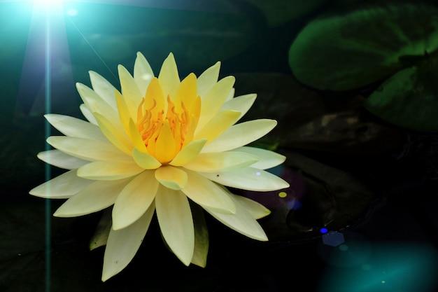 Les Fleurs De Lotus Dans L'eau Ont Des Reflets De Lumière Bleue. Photo Premium