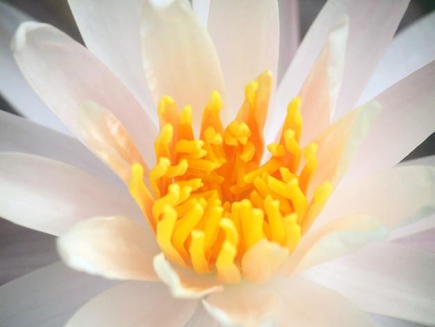 Fleurs de lotus roses Photo Premium