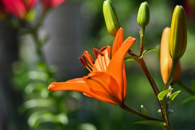 Fleurs De Lys. Beaucoup De Fleurs De Lis De Fleur D'oranger Dans Le Jardin. Photo Premium