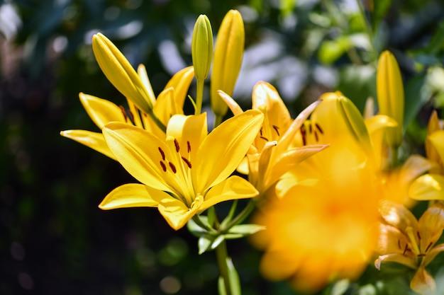 Fleurs De Lys. Le Lis Jaune Fleurit Dans Le Jardin. Photo Premium