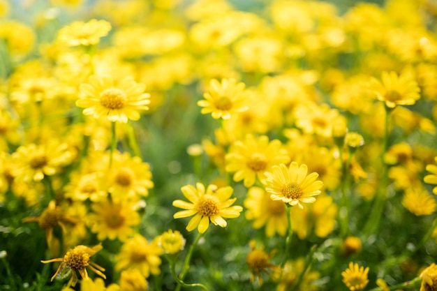 Fleurs de marguerite jaune dans le jardin Photo Premium