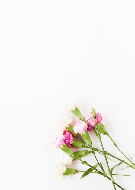 Fleurs d'oeillets roses sur fond blanc Photo gratuit