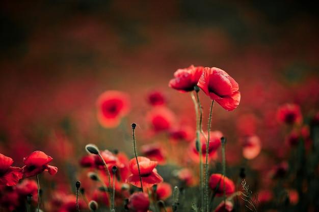 Fleurs De Pavot En été Photo gratuit