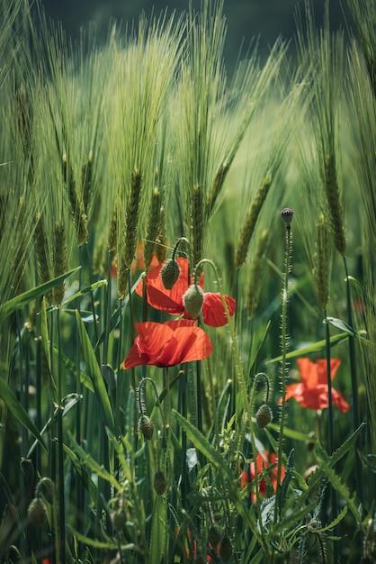 Fleurs De Pavot Rouge Et Bourgeons Verts Parmi Les épis De Blé Photo Premium