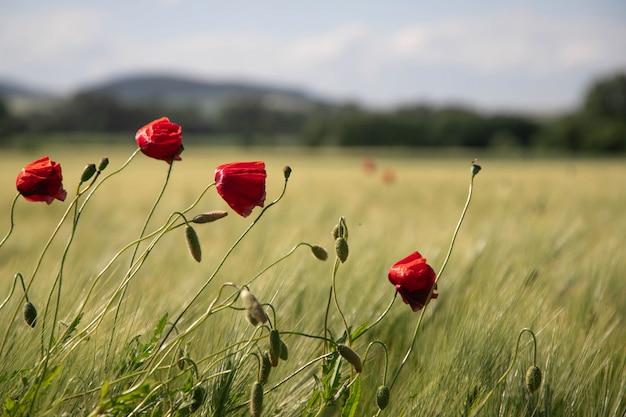 Fleurs de pavot rouges dans un champ Photo Premium