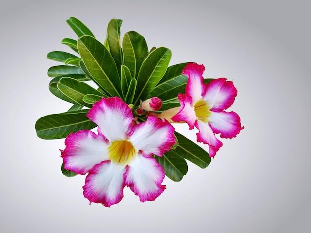 Fleurs de plumeria blanc rose avec des feuilles isolées sur fond dégradé Photo Premium