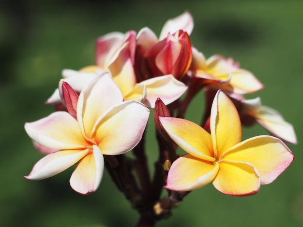 Fleurs de plumeria ou frangipanier Photo Premium