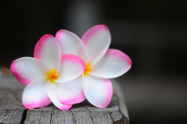 Les fleurs de plumeria rose closeup avec arrière-plan flou Photo Premium