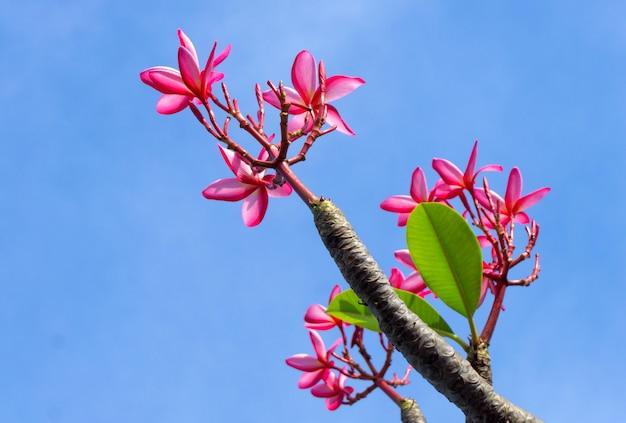 Fleurs de plumeria rose thaïlandais sur le ciel bleu Photo Premium