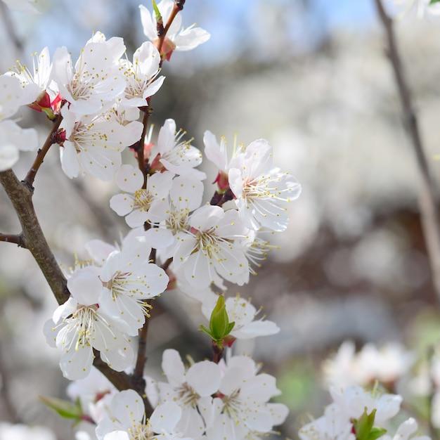 Fleurs de pommier rose à fleurs blanches Photo Premium