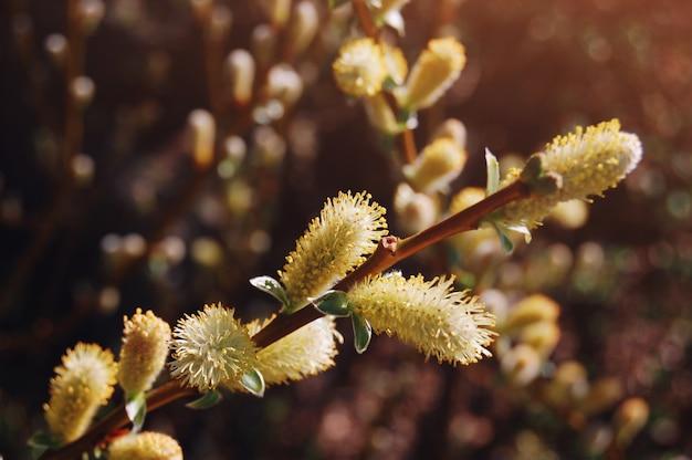 Fleurs de printemps. branche d'arbre magnifiquement fleurie. saison de printemps. Photo Premium