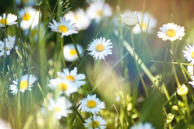 Fleurs De Printemps Fleur De Marguerite Sur Prairie Verte