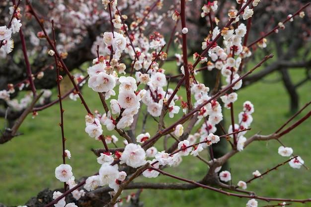 Des fleurs de prunier assez roses s'épanouissent sur un prunier Photo Premium