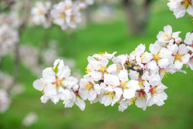 Fleurs Roses, Branche D'amandier En Fleurs Au Printemps, Fond D'herbe Verte Photo Premium