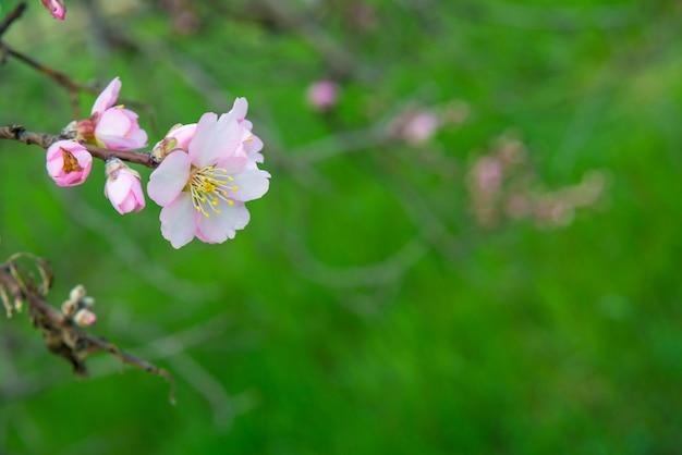 Fleurs Roses, Branche D'amandier En Fleurs Au Printemps Photo Premium