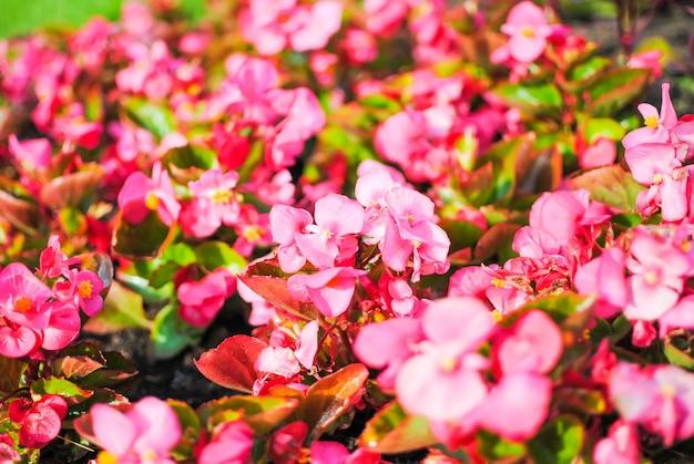 Fleurs Rouges Dans Les Parterres De Saint-pétersbourg Photo Premium
