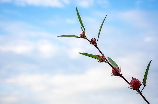 Fleurs rouges ou hibiscus sabdariffa fond ciel brouillé Photo Premium