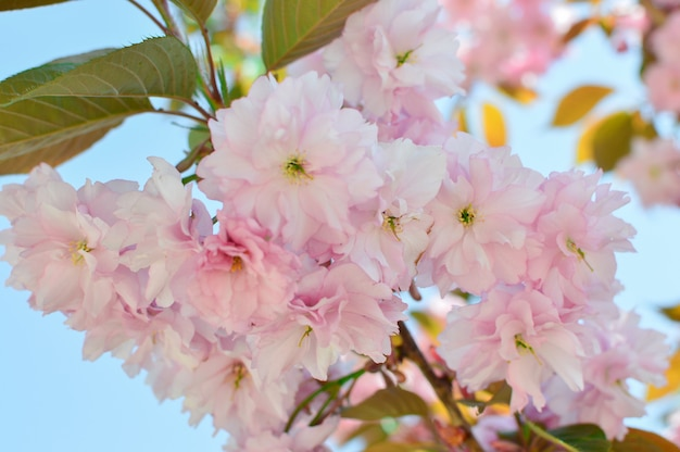 Fleurs sakura. sakura fleurissent. rose. concept de printemps. Photo Premium