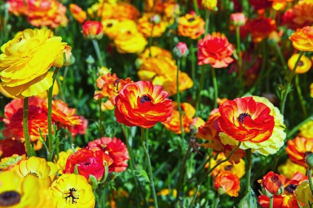 Fleurs sauvages en fleurs et renoncules colorés dans un kibboutz dans le sud d'israël Photo Premium