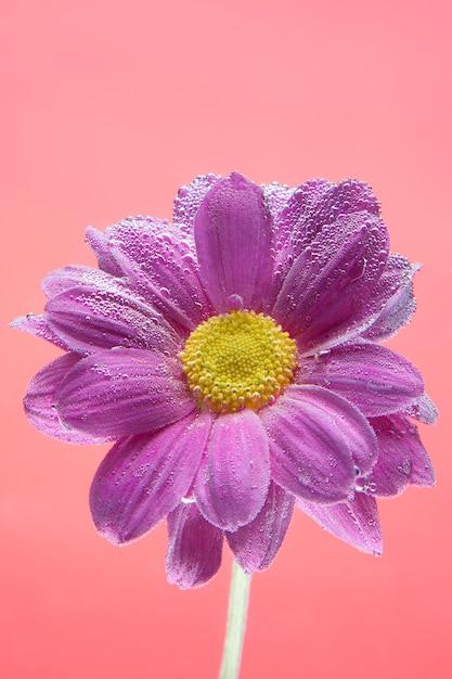 Fleurs sous l'eau, chrysanthèmes violets avec bulles d'air sur lilas Photo Premium