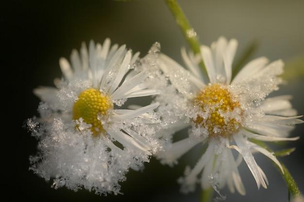 Des fleurs sous la neige. camomille sous la neige Photo Premium