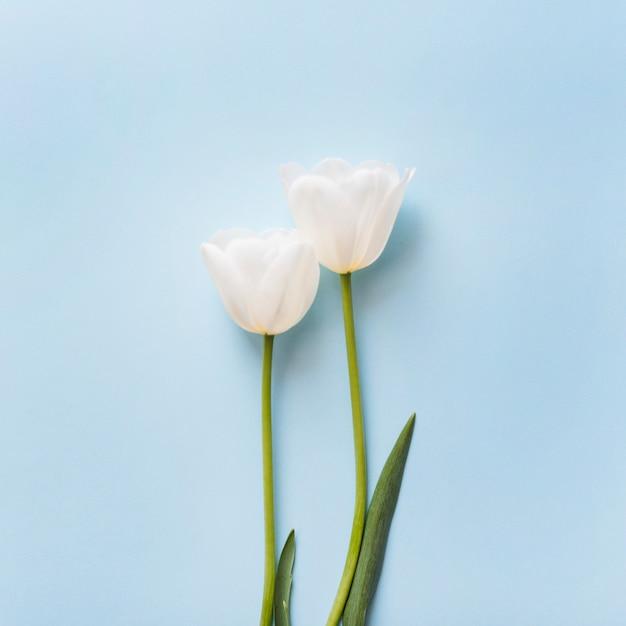 Fleurs de tulipes décoratives sur un fond coloré Photo gratuit