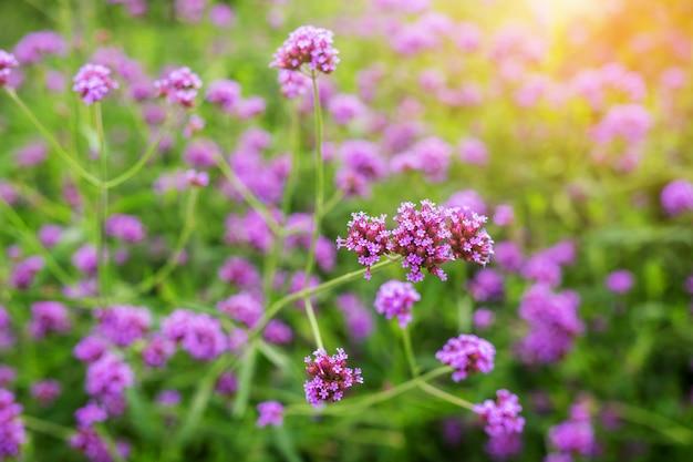 Fleurs De Verveine Violette Photo Premium