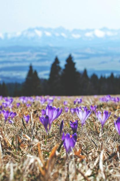 Fleurs Violettes Dans Un Champ De Montagne Photo gratuit