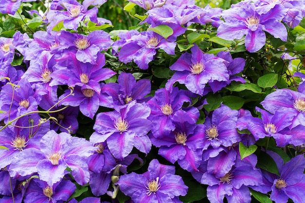 Des Fleurs Violettes Faites Maison Fleurissent Fin Mai Photo Premium