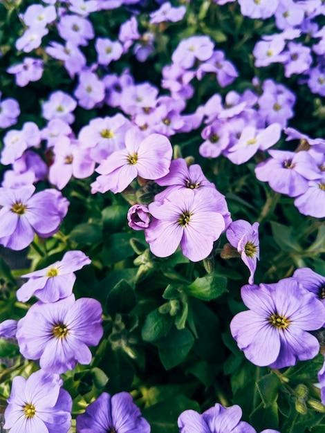 Fleurs Violettes Avec Des Feuilles Vertes, Flou D'arrière-plan De Mise Au Point Sélective Photo Premium