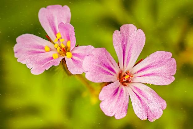 Fleurs Violettes Se Bouchent Photo Premium