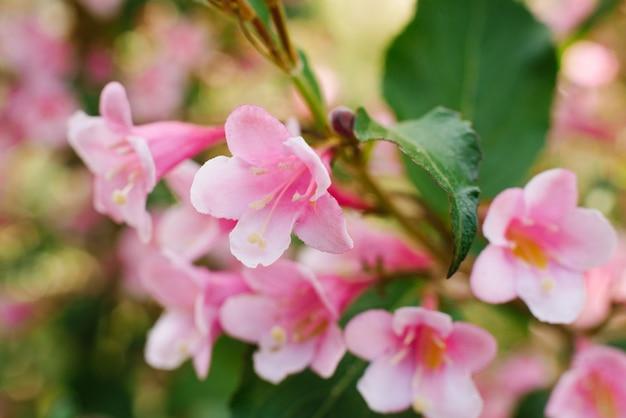 Fleurs De Weigela Rose Gros Plan Sur Une Branche Dans Le Jardin En été. Mise Au Point Sélective. Photo Premium