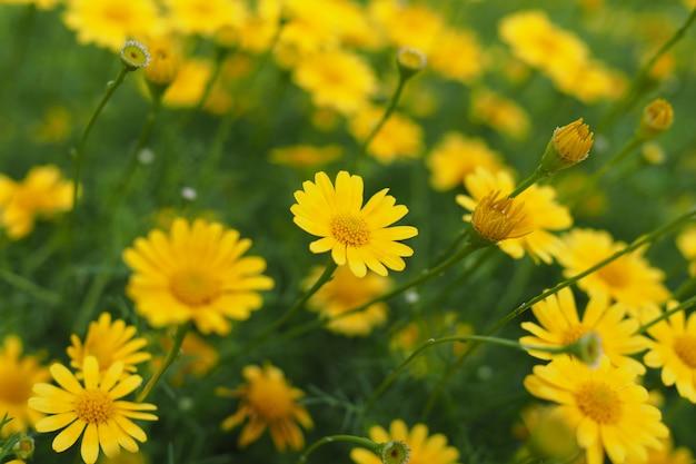 Fleurs de zinnia jaunes fraîches dans le jardin Photo Premium