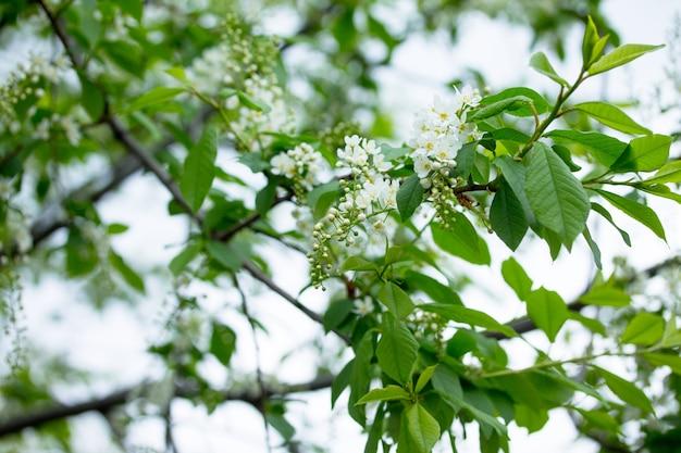 Floraison Du Cerisier Des Oiseaux. Fleurs De Printemps. Fond De Printemps. Photo Premium