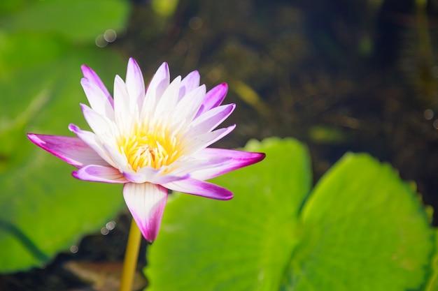 Floraison fleur de nénuphar blanc et violet (lotus) en fond d'étang vert Photo Premium