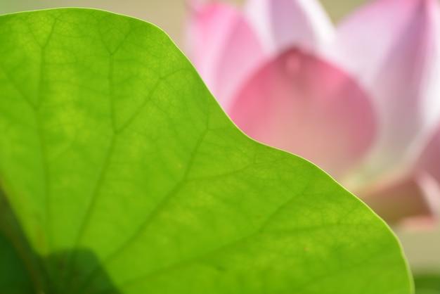 Floraison de fleurs roses avec une feuille verte closeup pour le fond Photo Premium
