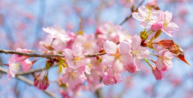 Floraison printanière de sakura Photo Premium