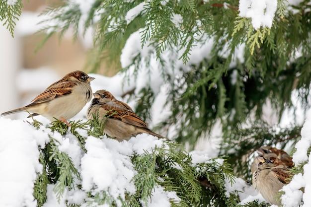 Flou De Moineaux Perchés Sur Un Cyprès Avec De La Neige Photo gratuit