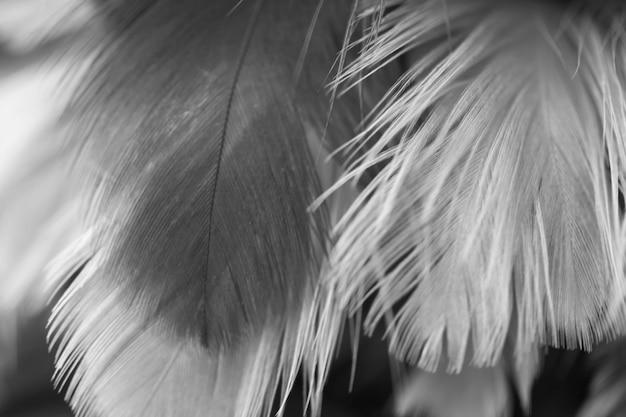 Flou de la texture de plumes de poulets oiseaux pour le fond Photo Premium