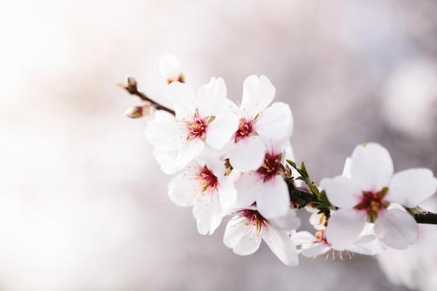 Fond D'arbre De Fleurs D'amandier. Cerisier à Fleurs Tendres. Incroyable Début De Printemps. Mise Au Point Sélective. Concept De Fleurs. Photo Premium