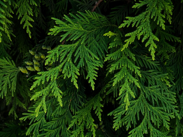 Fond De Branches D'arbres De Noël. Nature Fond Naturel Branches De Thuya Photo Premium