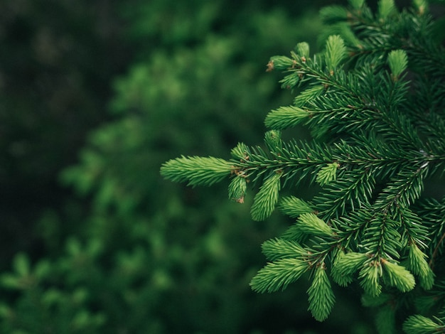 Fond de branches d'arbres de noël Photo Premium