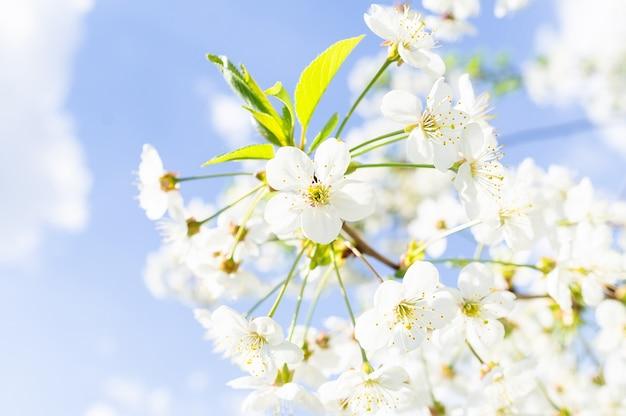 Fond de cerisiers en fleurs Photo Premium