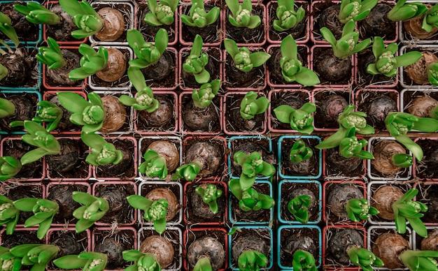 Fond Clair Avec Beaucoup De Texture De Fleur De Jacinthe. Concept Abstrait Avec Végétation Naturelle, Fleurs, Bulbes. Photo gratuit