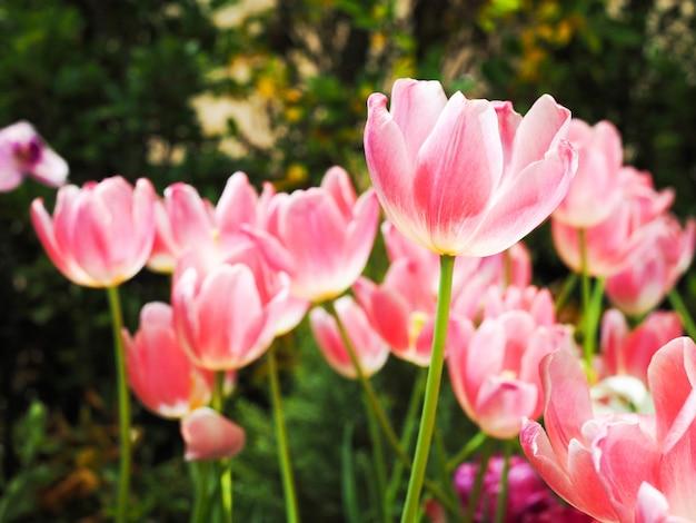 Fond D Ecran Fleur Fleur Rose Avec Fleur De Tulipe Lumineuse Dans Le Jardin Photo Premium